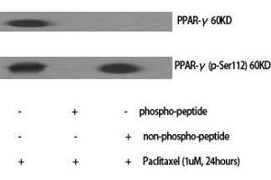 Image no. 2 for anti-Peroxisome Proliferator-Activated Receptor gamma (PPARG) (pSer112) antibody (ABIN3182214)