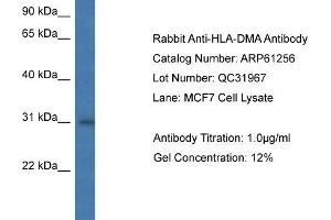 Image no. 1 for anti-Major Histocompatibility Complex, Class II, DM alpha (HLA-DMA) (N-Term) antibody (ABIN2788737)