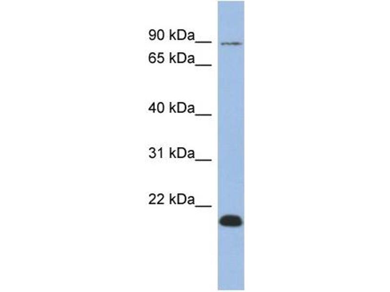 Western Blotting (WB) image for anti-Transcription Elongation Factor B Polypeptide 3B (Elongin A2) (TCEB3B) (Middle Region) antibody (ABIN501480)