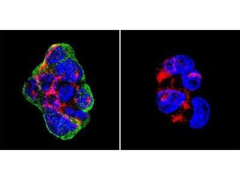 Immunofluorescence (IF) image for anti-Vimentin antibody (VIM) (ABIN261651)