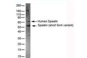 Western Blotting (WB) image for anti-Spastin antibody (SPAST) (AA 130-142) (ABIN254100)