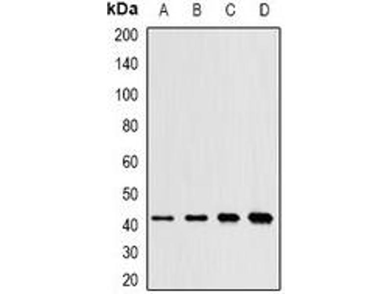 Western Blotting (WB) image for anti-Mitogen-Activated Protein Kinase 11 (MAPK11) antibody (ABIN3198308)