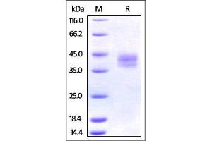 Image no. 1 for Programmed Cell Death 1 Ligand 2 (PDCD1LG2) (AA 20-219) protein (His tag) (ABIN2870761)