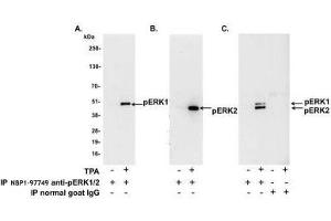 Immunoprecipitation (IP) image for anti-ERK2 antibody (Mitogen-Activated Protein Kinase 1) (AA 310-360) (ABIN438932)