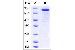 Image no. 1 for Low Density Lipoprotein Receptor Related Protein 10 (LRP10) (AA 17-440) protein (Fc Tag) (ABIN2870667)