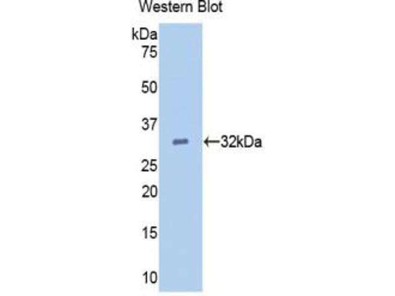 Western Blotting (WB) image for anti-Epidermal Growth Factor (EGF) (AA 45-275) antibody (ABIN2927956)