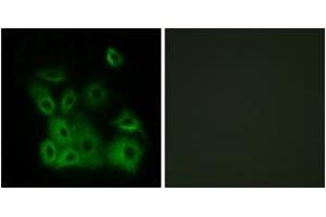 Immunofluorescence (IF) image for anti-BCL2-Associated X Protein (BAX) (AA 133-182), (pThr167) antibody (ABIN1531490)
