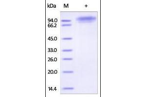 Image no. 1 for CD93 (CD93) (AA 22-580) protein (His tag) (ABIN2180858)