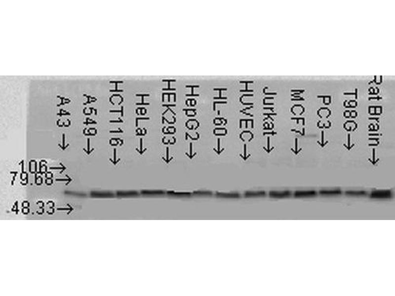 Western Blotting (WB) image for anti-V-Akt Murine Thymoma Viral Oncogene Homolog 2 (AKT2) antibody (Atto 565) (ABIN2486852)