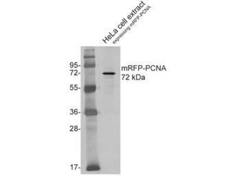 Western Blotting (WB) image for anti-RFP antibody (Red Fluorescent Protein) (ABIN334653)