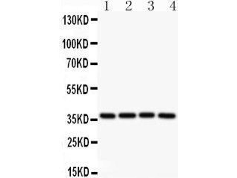 Western Blotting (WB) image for anti-Induced Myeloid Leukemia Cell Differentiation Protein Mcl-1 (MCL1) (AA 1-350) antibody (ABIN3043876)