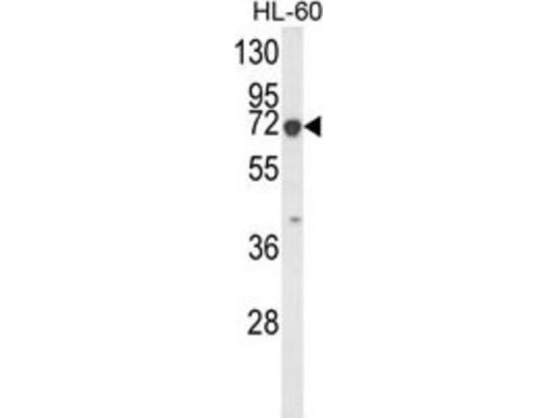 Image no. 2 for anti-Keratin 9 (KRT9) antibody (ABIN3003130)