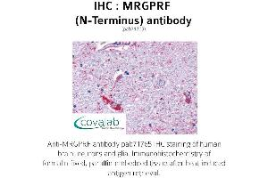 Image no. 1 for anti-MAS-Related GPR, Member F (Mrgprf) (Extracellular Domain), (N-Term) antibody (ABIN1737071)