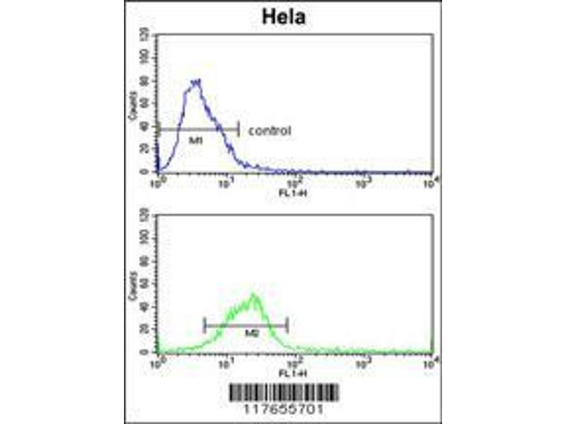 Flow Cytometry (FACS) image for anti-Heat Shock 70kDa Protein 8 (HSPA8) (AA 82-110), (N-Term) antibody (ABIN650754)