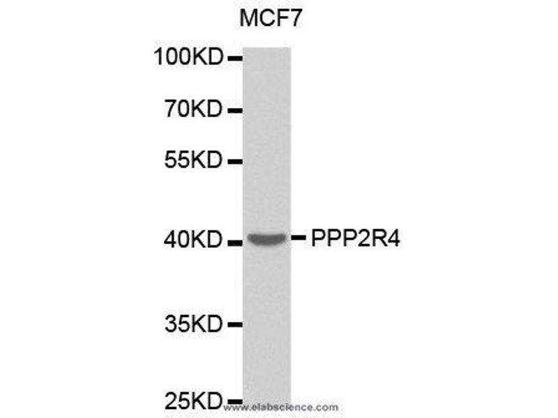 Western Blotting (WB) image for anti-PPP2R4 antibody (Protein Phosphatase 2A Activator, Regulatory Subunit 4) (ABIN2404794)
