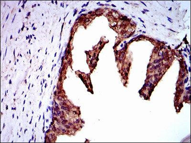 Immunohistochemistry (IHC) image for anti-Neural Precursor Cell Expressed, Developmentally Down-Regulated 8 (NEDD8) antibody (ABIN1846663)