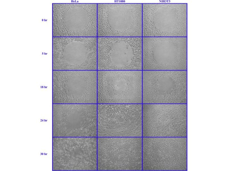Cellular Assay (CA) image for Radius™ 24-Well Cell Migration Assay (ABIN2344873)