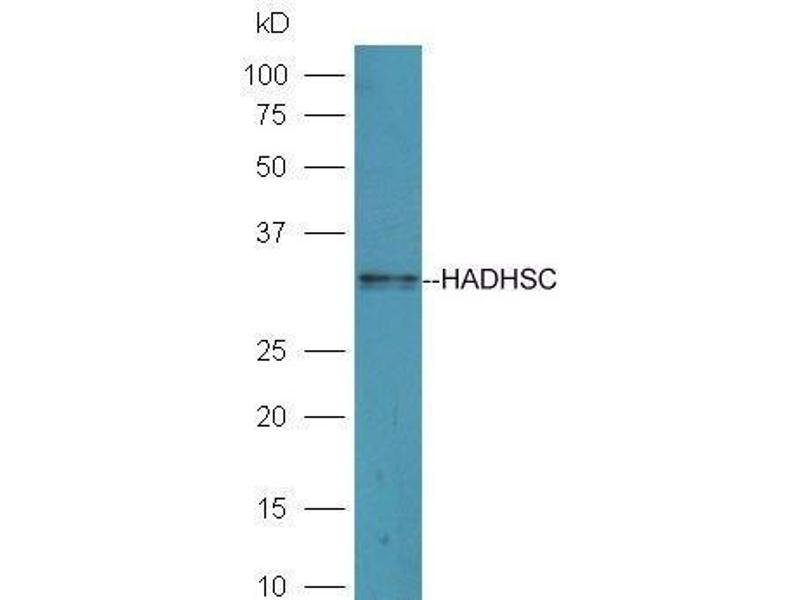 Western Blotting (WB) image for anti-Hydroxyacyl-CoA Dehydrogenase (HADH) (AA 280-314) antibody (ABIN1715051)