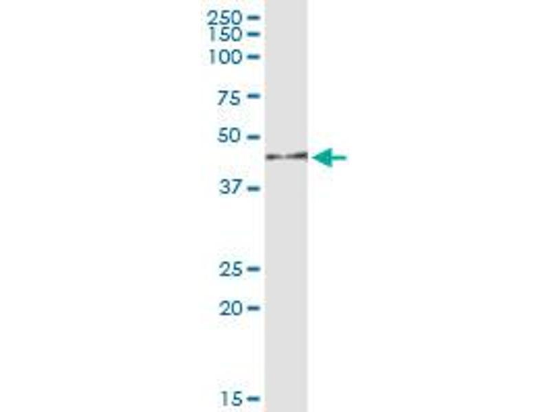 Immunoprecipitation (IP) image for anti-Mitogen-Activated Protein Kinase 12 (MAPK12) (AA 1-367), (full length) antibody (ABIN520004)