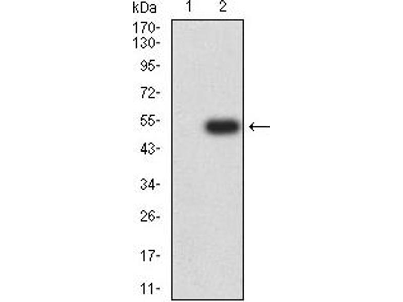 Western Blotting (WB) image for anti-Platelet-Derived Growth Factor Receptor, alpha Polypeptide (PDGFRA) (AA 179-361) antibody (ABIN5611263)