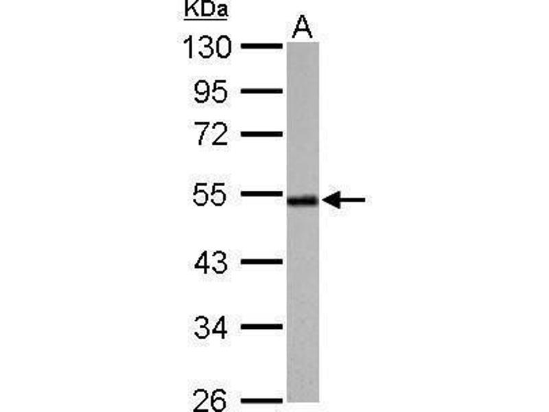 Western Blotting (WB) image for anti-Cyclin A antibody (Cyclin A2) (Center) (ABIN2855543)
