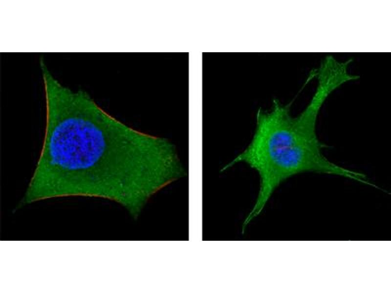 Immunofluorescence (IF) image for anti-Wingless-Type MMTV Integration Site Family, Member 1 (WNT1) antibody (ABIN1846734)