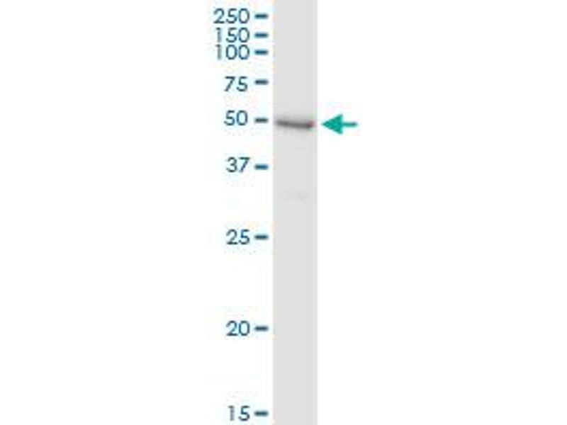 Immunoprecipitation (IP) image for anti-Sedoheptulokinase (SHPK) (AA 1-478), (full length) antibody (ABIN949143)