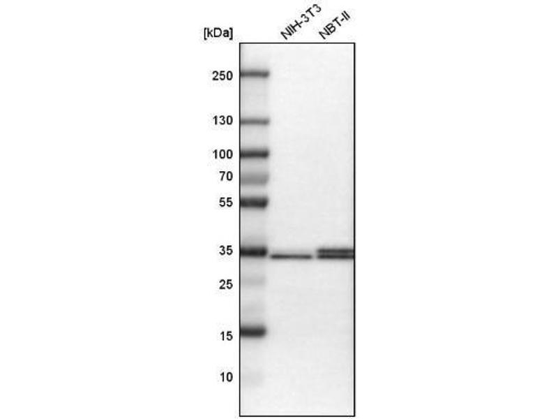 Western Blotting (WB) image for anti-Syntaxin 3 (STX3) antibody (ABIN4357294)