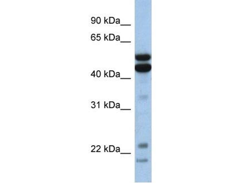 Image no. 2 for anti-Nuclear Factor, Interleukin 3 Regulated (NFIL3) (Middle Region) antibody (ABIN2777219)