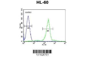 C1QC Antibody (Center) (ABIN655873) flow cytometric analysis of HL-60 cells (right histogram) compared to a negative control cell (left histogram).FITC-conjugated goat-anti-rabbit secondary antibodies were used for the analysis.