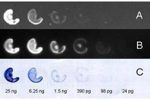 Image no. 3 for Goat anti-Rabbit IgG (Heavy & Light Chain) antibody (FITC) - Preadsorbed (ABIN101988)