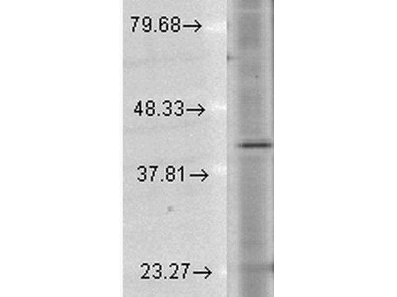 Western Blotting (WB) image for anti-Rhodopsin (RHO) antibody (APC) (ABIN2482278)