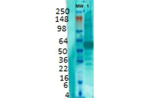 Image no. 1 for anti-Solute Carrier Family 17 (Vesicular Glutamate Transporter), Member 7 (SLC17A7) (AA 493-560) antibody (FITC) (ABIN2483727)