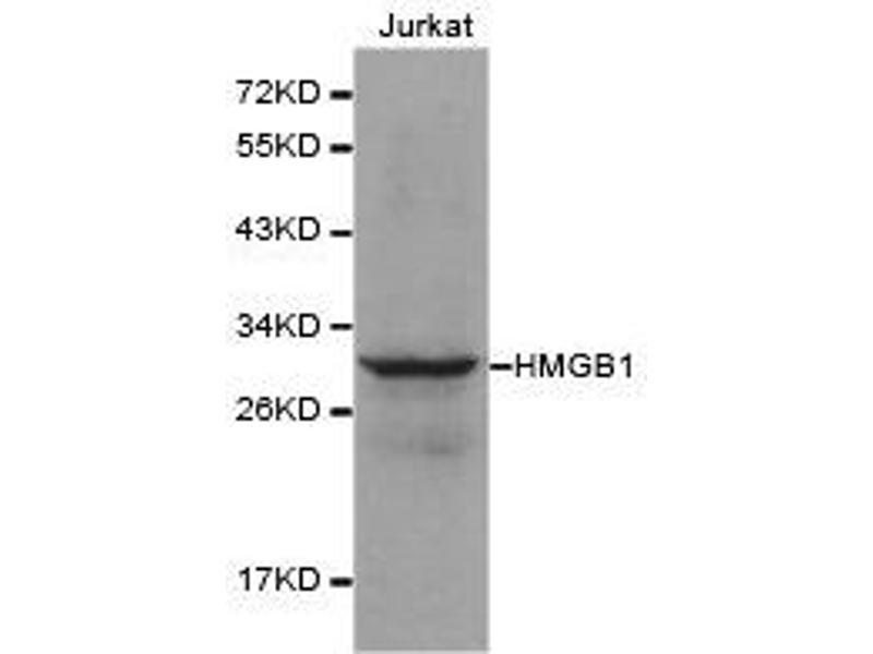 Western Blotting (WB) image for anti-High-Mobility Group Box 1 (HMGB1) antibody (ABIN1873039)