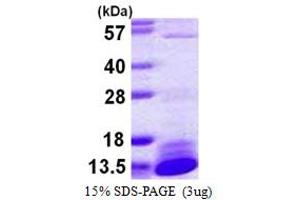 Image no. 1 for Dynein, Light Chain, LC8-Type 2 (DYNLL2) (AA 1-89) protein (His tag) (ABIN667470)