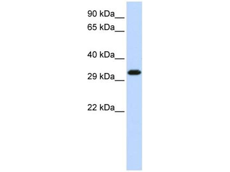 Western Blotting (WB) image for anti-Gem (Nuclear Organelle) Associated Protein 2 (GEMIN2) (Middle Region) antibody (ABIN405311)