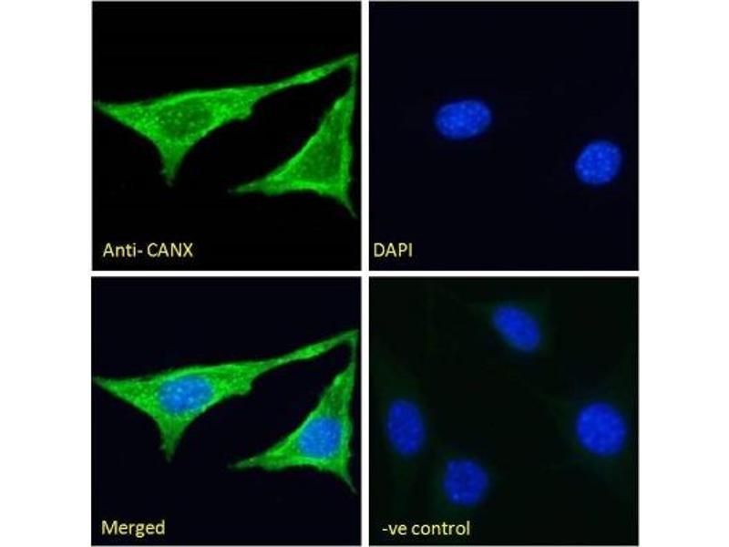 Immunofluorescence (IF) image for anti-Calnexin (CANX) (N-Term) antibody (ABIN451825)