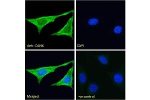 Immunofluorescence (IF) image for anti-Calnexin (CANX) (N-Term) antibody (ABIN451825)