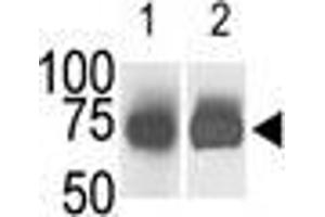 Image no. 2 for anti-Sphingosine Kinase 2 (SPHK2) (N-Term) antibody (ABIN359440)