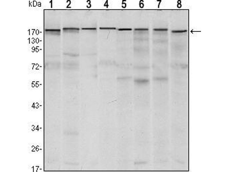 Western Blotting (WB) image for anti-SET Domain, Bifurcated 1 (SETDB1) antibody (ABIN969394)