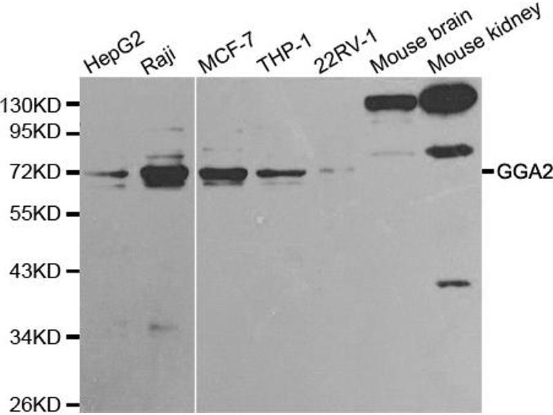 Image no. 1 for anti-Golgi-Associated, gamma Adaptin Ear Containing, ARF Binding Protein 2 (GGA2) antibody (ABIN6567272)