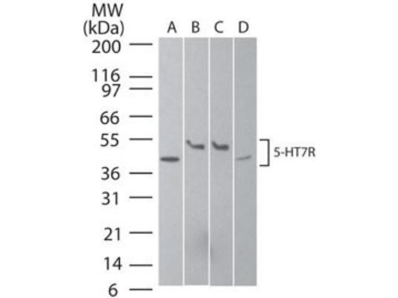 Western Blotting (WB) image for anti-5-Hydroxytryptamine (serotonin) Receptor 7 (Adenylate Cyclase-Coupled) (HTR7) antibody (ABIN188708)
