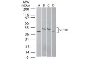 Western Blotting (WB) image for anti-5-Hydroxytryptamine (serotonin) Receptor 7 (Adenylate Cyclase-Coupled) (HTR7) antibody (ABIN188708)