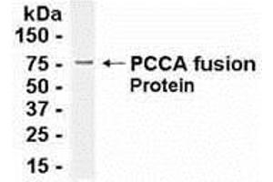Image no. 1 for anti-Propionyl CoA Carboxylase, alpha Polypeptide (PCCA) (AA 450-703) antibody (ABIN2467968)