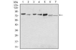 Image no. 4 for anti-Syndecan 1 (SDC1) (AA 28-171) antibody (ABIN1724936)