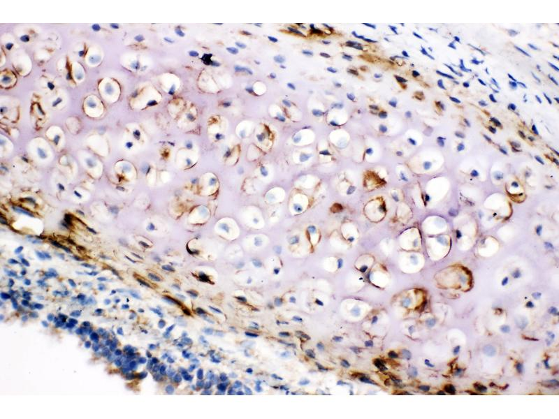 Immunohistochemistry (IHC) image for anti-Collagen, Type II, alpha 1 (COL2A1) (AA 1222-1241), (C-Term) antibody (ABIN3042879)