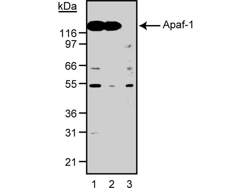 Western Blotting (WB) image for anti-Apoptotic Peptidase Activating Factor 1 (APAF1) (AA 12-28) antibody (ABIN967648)
