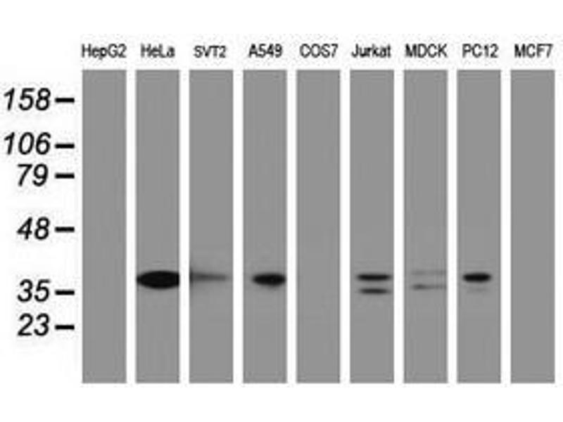 image for anti-Jun Proto-Oncogene (JUN) antibody (ABIN1498937)