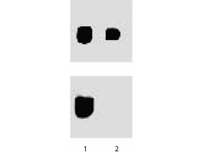 Western Blotting (WB) image for anti-PTK2 Protein tyrosine Kinase 2 (PTK2) (pTyr397) antibody (ABIN968663)