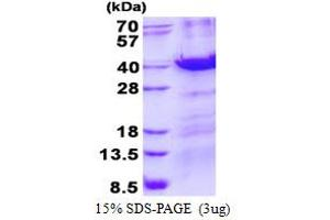 Image no. 1 for Methyl-CpG Binding Domain Protein 3 (MBD3) protein (His tag) (ABIN1098411)